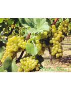 Pinot Blanc - Szczepy Win - Sklep z Winem Bachus