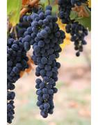 Grignolino - Szczepy Win - Sklep z Winem Bachus