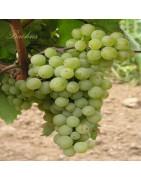 Chardonnay - Szczepy Win - Sklep z Winem Bachus