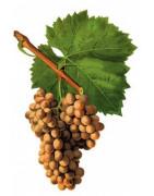 Grenache Blanc - Szczepy Win - Sklep z Winem Bachus
