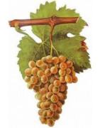 Picpoul Blanc - Szczepy Win - Sklep z Winem Bachus