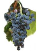 Petit Verdot - Szczepy Win - Sklep z Winem Bachus